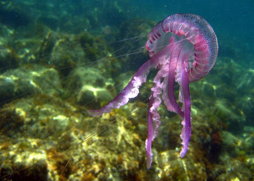 медузы средиземного моря тунис фото сшитых желтого